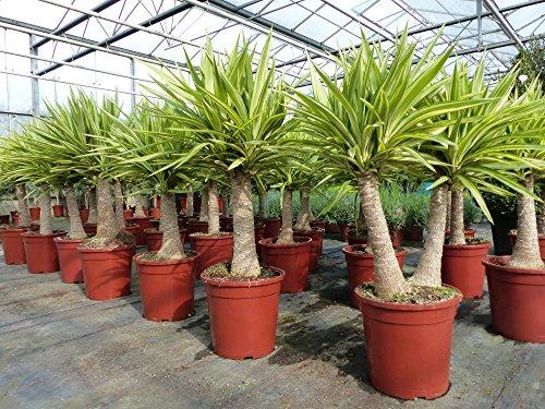 Yucca Hochstamm Palme 100 cm Elephantipes Jewel pflegeleichte Zimmerpflanze