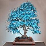 20Stück blau Japanischer Ahorn Baum Bonsai Samen Balkon Pflanzen für Home Garten Decor Air purfication Supplies