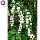 10 PC/bag Hydrangea Samen, Bonsai Seltene Blumensamen China Kletter-Hortensie Staudengarten Blumensamen im Freien Blumentopf
