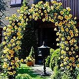 Yellow Climbing Rose Flower Seeds by E Garden
