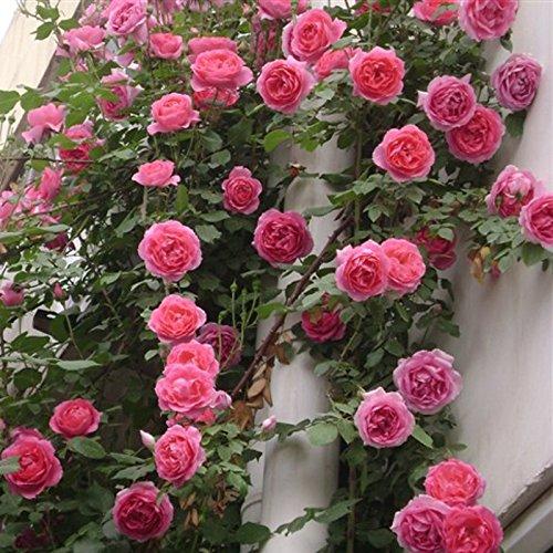 Blumensamen Schmetterling&Biene freundlich Rambler Rosensamen Saatgut Blumen Samen 100 Stück Samen,für Topf,Garten,Terassen,Balkon