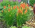 Fackellilie / Raketenblumen 25 Samen (Kniphofia uvaria) - mehrjährige winterharte Staude mit auffälligen Blütenkerzen von - bei Du und dein Garten