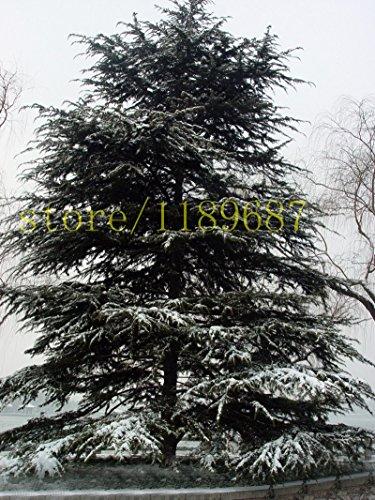 semillas-del-arbol-100pcs-cedro-semilla-de-hoja-perenne-bosque-lenosa-perenne-cedro-maceta-plantas-s