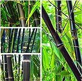 Semi organici: 500 Seeds: Timor Black_boo (pasta sfoglia) 100-500 semi di Farmerly