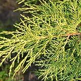 Juniperus x pfitzeriana var.Gold star - Maceta de 3Litros