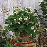 lichtnelke - Erdbeerpflanze (Fragaria x ananassa 'ROMAN') Erdbeere