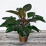 Gulmohar Green Nursery Philodendron Congo Plant