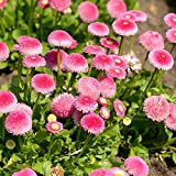 Pink English Daisy seeds - Bellis perennis