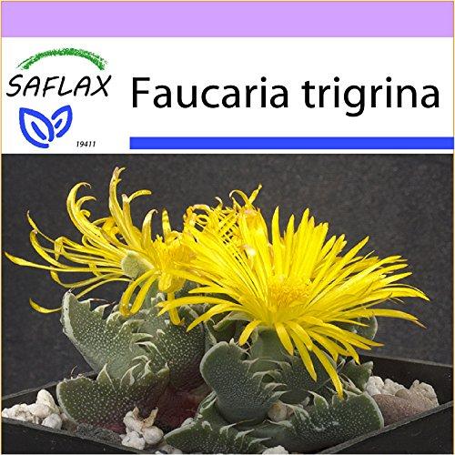 SAFLAX - Kakteen - Echter Tigerrachen - 40 Samen - Faucaria tigrina