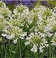 weiße Liebesblume Schmucklilie - Agapanthus africanus von Baumschule bei Du und dein Garten