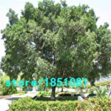 Pinkdose Chinesische Seltene Chinesische Feige-Baum-Samen 100pcs China Roots Sementes Bonsai Ginseng Banyan Garden Baum im Freien Pflanzer: Lila
