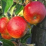Grüner Garten Shop Apfelbaum Cox Orange Renette aromatischer Winterapfel Buschbaum 120-150 cm 7,5 L Topf Unterlage M9