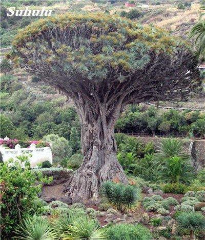 Dracaena arbre Graines, Arbre de sang (Dracaena draco), Graines rares Showy géant Fleur de cerisier Bonsai Jardin en pot Plantes 10 Pcs 11