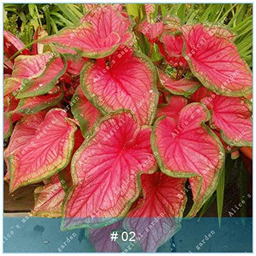 IDEA HIGH Seeds-ZLKING 100pcs Beautiful Caladium Bicolor Bonsai voller Vitalität Indoor Topfpflanzen Mehrjährige immergrüne Dekoration: Caladium bicolor2