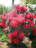 Rhododendron Wilgens Ruby 60 cm hoch mit Ballen