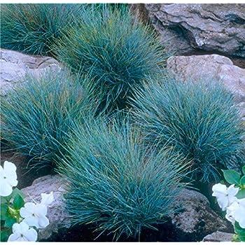 Carex oshimensis Evergold 1 Liter Japan Gold Segge Ziergras//Gr/äser//Stauden