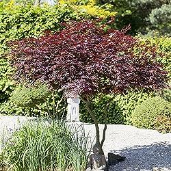 """Japanischer Fächer Ahorn Acer palmatum """"Atropurpureum"""" im Topf gewachsen"""