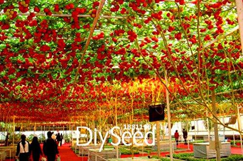 Best-Verkauf! 50 Samen / Beutel ITALIAN TREE Tomatensamen 'Trip L Crop' Seeds * Comb S / H Freies Verschiffen, # RLLXAS