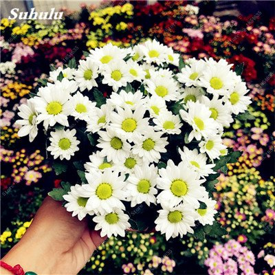 Schlussverkauf! 50 PC Daisy Blumensamen Ice Cream Parfüm Topf Chrysantheme-Blumen-Haus-Garten-Dekoration Bonsai Blumensamen 14 -