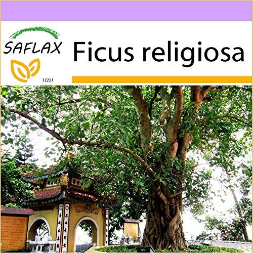 SAFLAX - Buddha-Feige / Bodhi-Baum - 100 Samen - Ficus religiosa