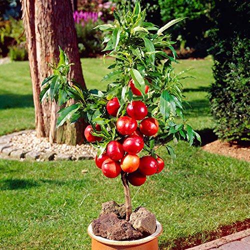 patio-nectarine-garden-beauty-bare-root-tree