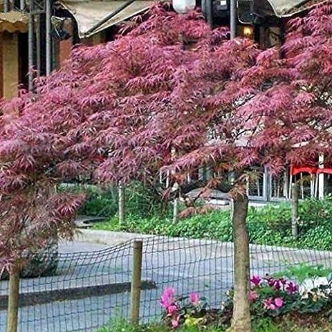 10 pedazos / paquete raras Semillas Negro Arce Arce Semillas Plantas Bonsai árbol en maceta jardín japonés semillas de arce