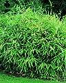 Zwergbambus, 1 Pflanze von Amazon.de Pflanzenservice - Du und dein Garten