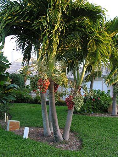 Generic Seeds: 10 frische Samen ** Veitchia merrillii * Christmas Palm * Manila Palm *