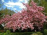 Kirschbaum Kanzan LH 60 - 100 cm, Kirschen rosa, Busch, im Topf, Obstbaum winterhart, Autumnalis Prunus subhirtella