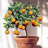 The Bonsai Plants Exclusive Orange Bonsai Live Plant -Fruit Bonsai Plant - Great Quality Orange