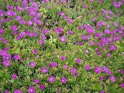 Delosperma cooperii - Mittagsblume, 3 Pflanzen von Dachstauden - Du und dein Garten