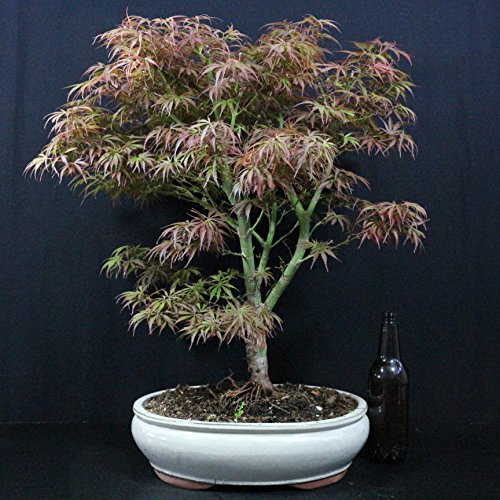 Fächerahorn, Acer palmatum, Outdoor-Bonsai, 14 Jahre, Höhe 60 cm