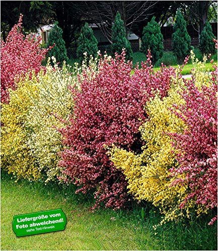 """BALDUR-Garten Ginster-Hecke""""Bicolor"""", 3 Pflanzen Cytisus praecox winterhart Heckenpflanzen"""