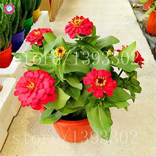 50PCS Bonsai Graines Zinnia Multicolor chrysanthème belle boule de feu Graines de fleurs en pot Plantes Pour jardin 13