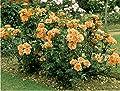 Strauchrose 'Westerland' -R- ADR-Rose, A-Qualität Wurzelware von Rosen-Union bei Du und dein Garten