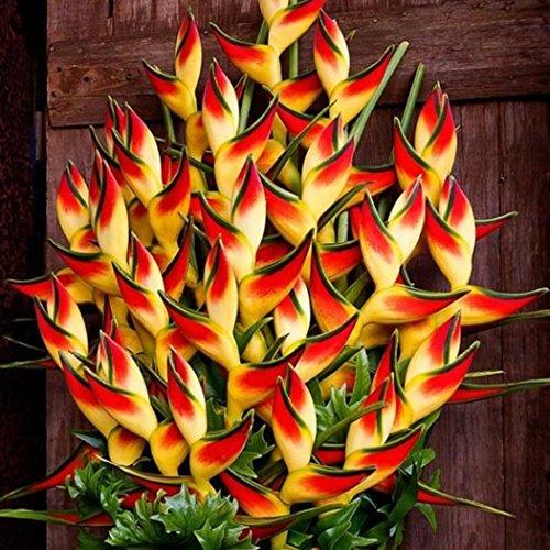 Yukio Samenhaus - Selten Asien 50/100 Stück Mucuna Birdwoodiana Samen Exotischen pflanzen Vogel Blumen Samen Garten Pflanzen Seltenen Blumen Neue Pflanzensamen (50 Stück) -