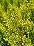 Großer Lebensbaum / Thuja `4ever Goldy´ Größe 10-L-Topf, 80-100 cm Pflanzenhöhe