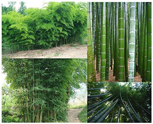 Zoom IMG-1 semi di bambu gigante 60