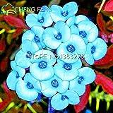 2016Hot Sale 50Multicolor Christusdorn (Euphorbia) Samen Rare New Rare Blühende Pflanzen Vier Season für Home Garten Shown In Desc dunkelblau
