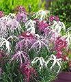 BALDUR-Garten Dianthus 'Dancing Geisha' Nelken, 3 Pflanzen von Baldur-Garten auf Du und dein Garten
