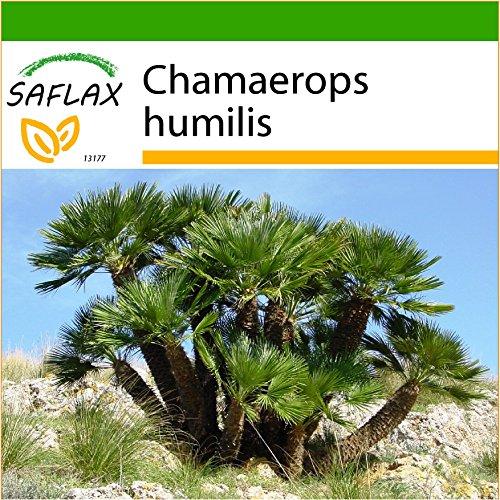 SAFLAX - Zwergpalme - 10 Samen - Mit Substrat - Chamaerops humilis