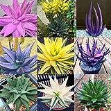 Cioler 100 pz/borsa raro arcobaleno semi di aloe anti radiazioni bonsai piante grasse semi