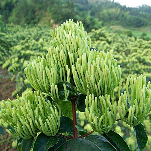Graines de chèvrefeuille KAYI Quatre saisons floraison haute valeur médicinale Accueil Plantation Bonsaï 100 pcs