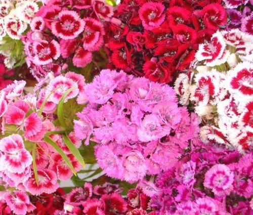 SWEET WILLIAM Dianthus Barbatus - 5.500 Bulk-Samen -