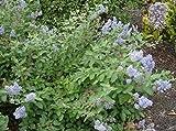 Säckelblume Glorie de Versailles - Ceanothus deliliana Glorie de Versailles - duftend