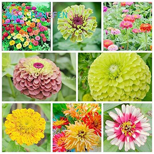 Shopmeeko 100 Stück Zinnia Pflanzen Mix Farbe Kleine Blumenzwiebeln Pflanzen Bonsai Pot DIY Hausgarten Chrysantheme Pflanze Interessante Blumen: Burgund -