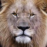 Artland Qualitätsbilder I Glasbilder Deko Glas Bilder 40 x 40 cm Tiere Wildtiere Raubkatze Foto Braun B3WY König der Löwen