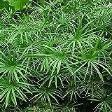 Tropica - Hierba plantas acuáticas Juncia (Cyperus alternifolius syn. Cyperus involucratus) - 250 Semillas