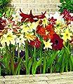 """BALDUR-Garten Winterharte Garten-Amaryllis """"Farbmix"""", 6 Stück Amarylliszwiebeln Ritterstern von Baldur-Garten bei Du und dein Garten"""