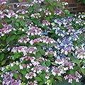 Tellerhortensie Bluebird von Meingartenshop - Du und dein Garten